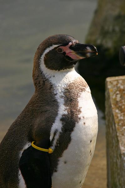 Penguin, Marwell Zoo