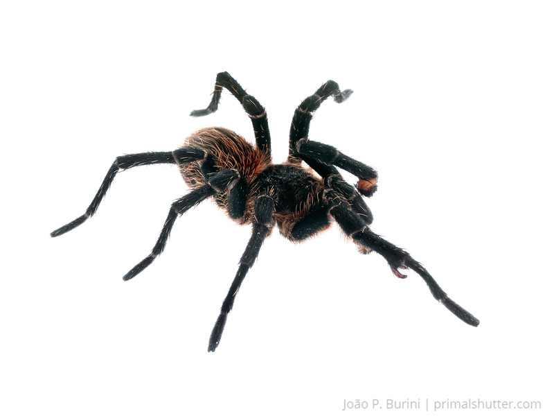 Male Homoeomma montanum tarantula with a damaged leg Atlantic forest (rock outcrop vegetation) Itatiaia National Park, Itamonte MG, Brazil March 2018