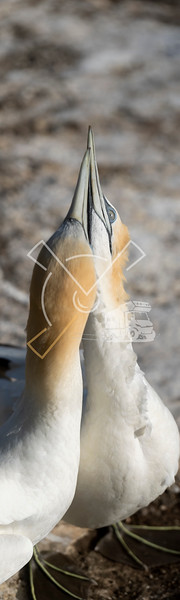 Courtship behaviour among adult australasian gannets on their nest at the Muriwai colony
