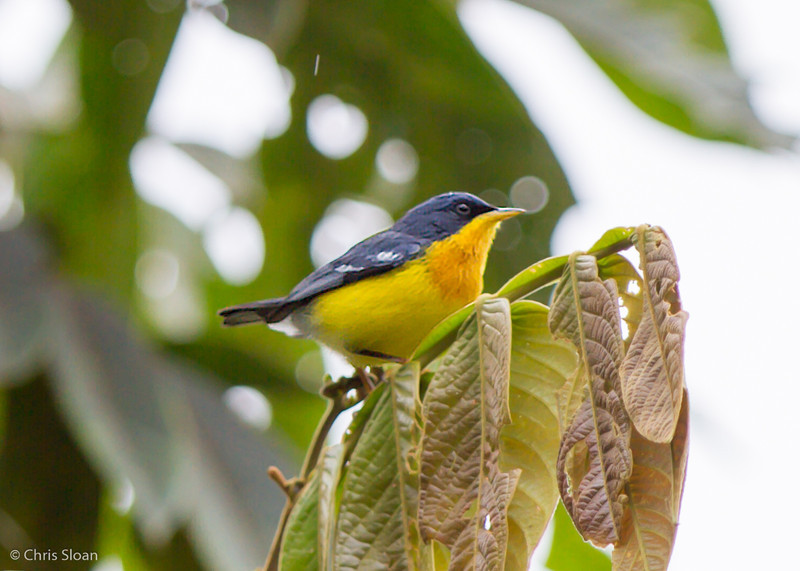 Tropical Parula male at Sachatamia Lodge, Ecuador (03-03-2014)-23.jpg