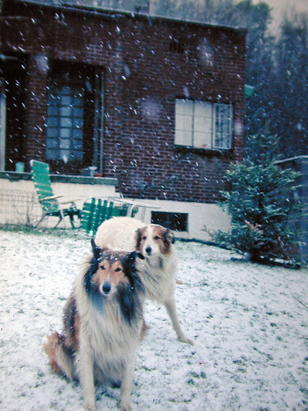 Collies in the Snow
