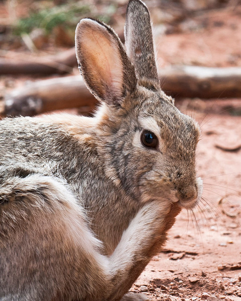 Hare Garden of the Gods Colorado Springs, Colorado © 2011