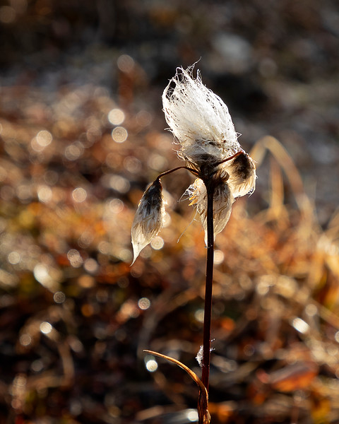 The end of the year for Cotton Grass