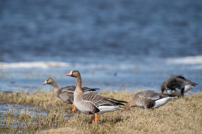 gęś białoczelna | white-fronted goose | anser albifrons