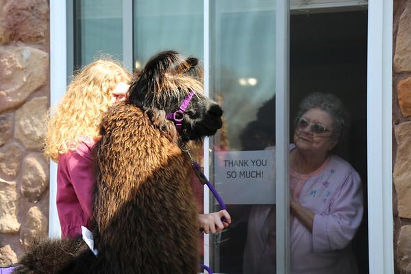 Homestead Llama Parade 040120