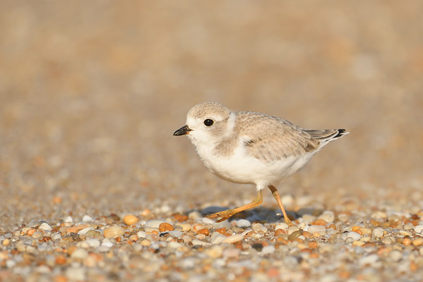 Piping Plovers of New Jersey
