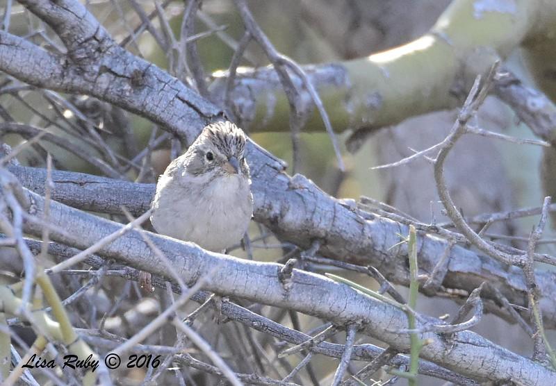 Brewer's Sparrow  - 4/18/2016 - McDowell Sonoran Preserve, Scottsdale, AZ