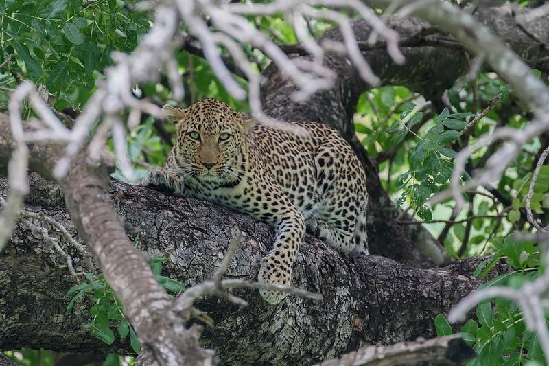Leopard 1702270436.jpg
