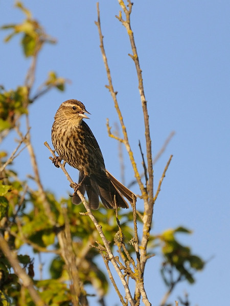 14 May 2010: A female red-winged blackbird, taken at a park near my house.