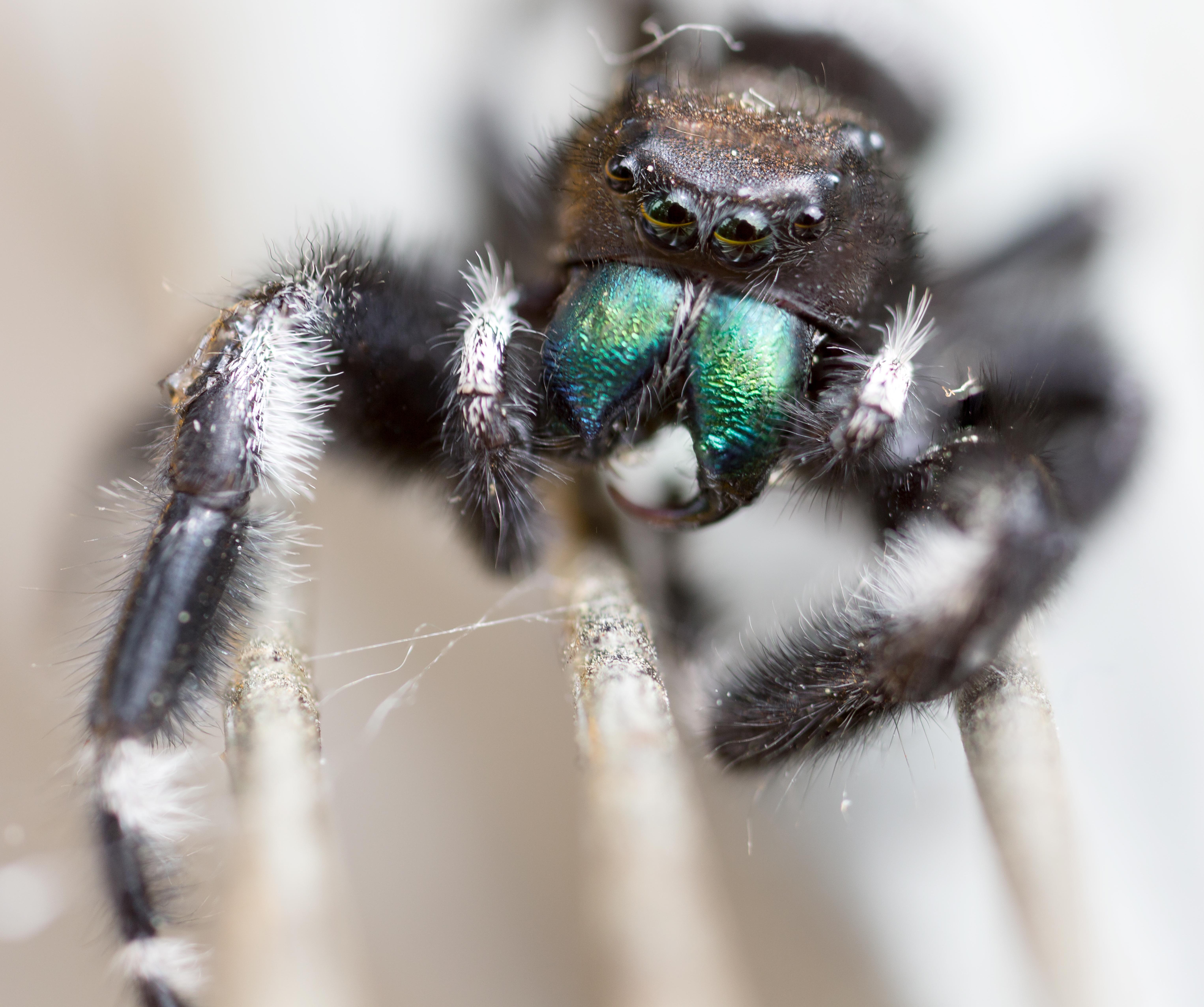 [OC] Phidippus Audax Jumping Spider Macro [6102x5105]