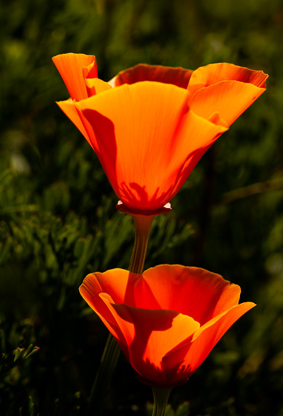 Two Poppies, Campbell, California, 2010