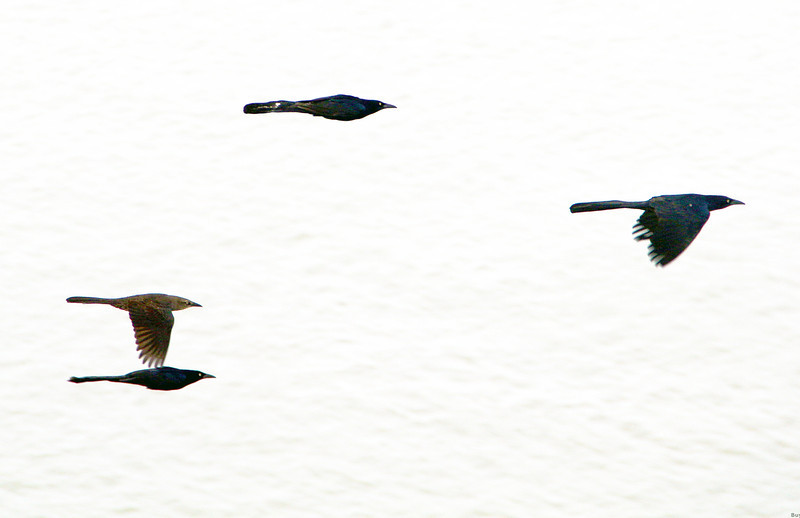 fourgrackles.jpg