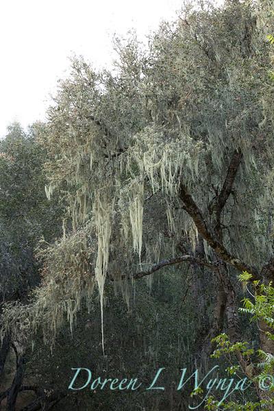 Quercus lobata - Ramalina menziesii_4555.jpg