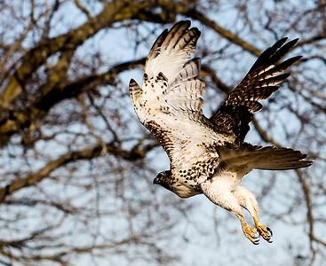 20141203 - Releasing Hawk (SN)