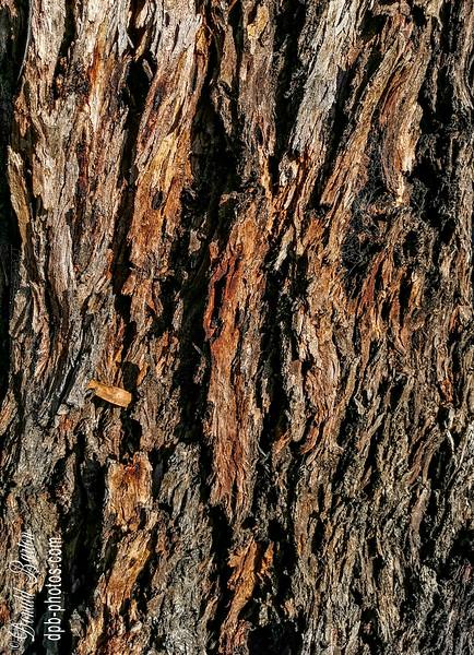 Eucalyptus_sideroxylon