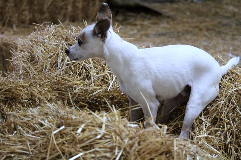 20160710 Winnegamie Barn Hunt Trial (115).JPG