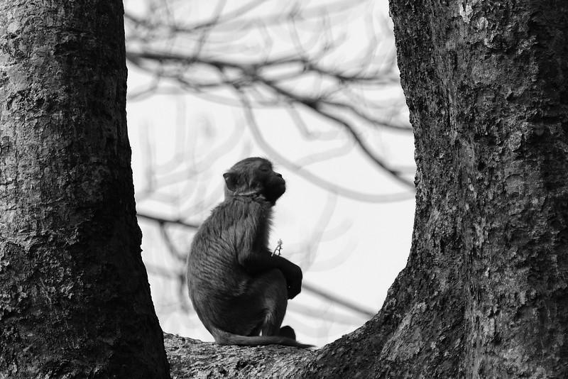 Rhesus-monkey-deep-in-meditation.jpg