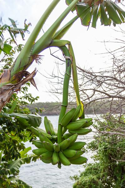 Bananplante