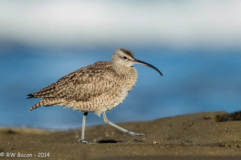 Pacific Whimbrel.jpg