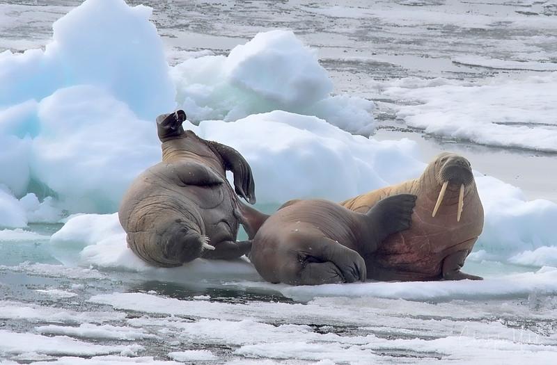 walrus mom playing.jpg