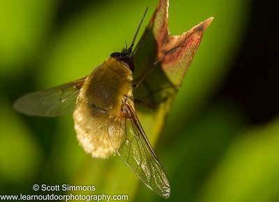 Systoechus Bee Flies