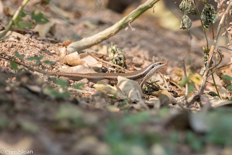 Lizard species at Chinnar Wildlife Refuge, Tamil Nadu, India (02-28-2015) 062-187.jpg