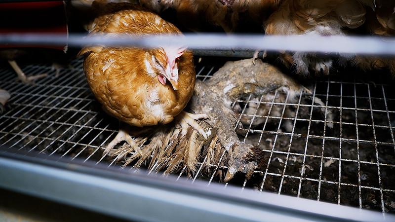 cadavre-momie-ossement-poules-pondeuses-France.jpg