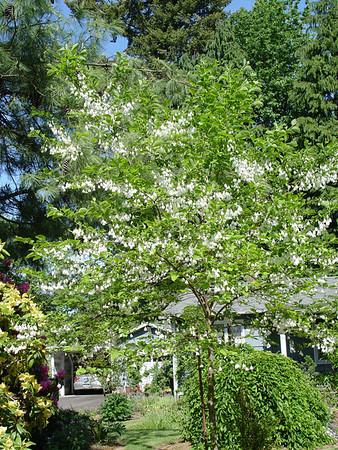Snowbells, Silverbells & other Styracacea