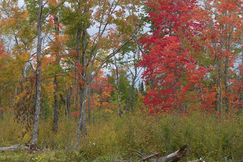 Red Maples along CR133 in Sax-Zim Bog MN IMG_9321.jpg