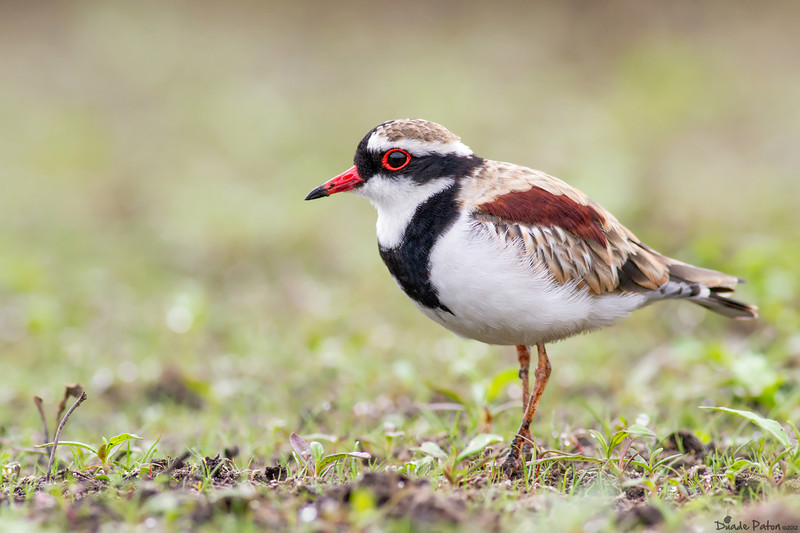 144-Black-fronted-Dotterel-Worrigee,NSW.jpg