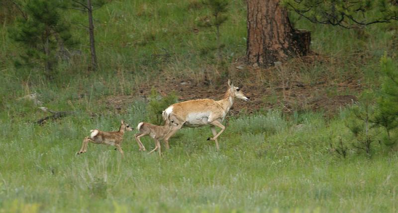 Prong Horn Family