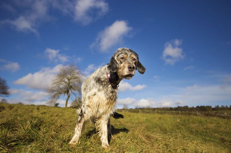 Gertie-English-Setter-Redhara-Setters-Derbyshire-UK-scaled.jpeg