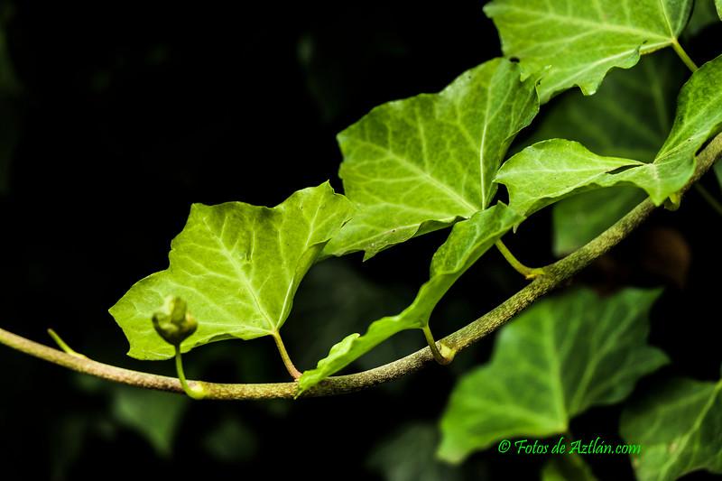 Vines IMG_8148.jpg