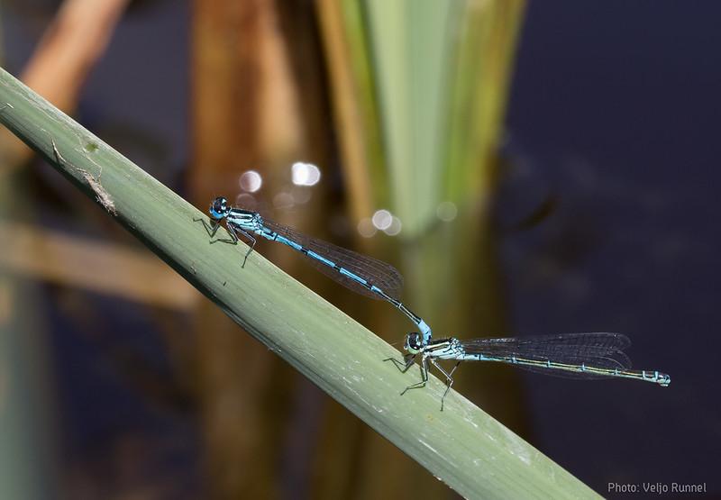 Azure Bluet, Coenagrion puella