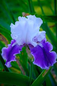 Iris Garden June 2015