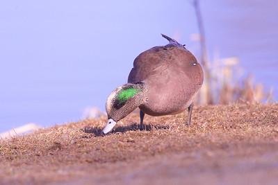 Ducks & Geese