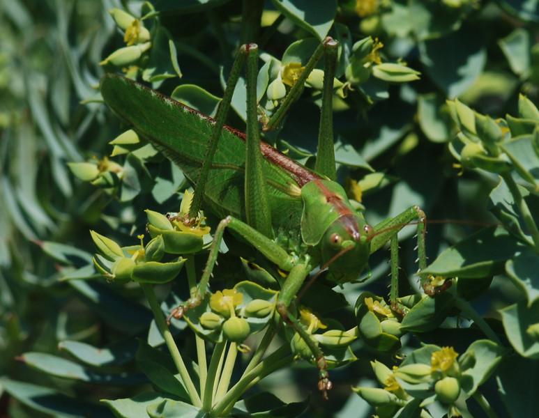 Great Green Bush Cricket, Camargue South of France 2009 ak