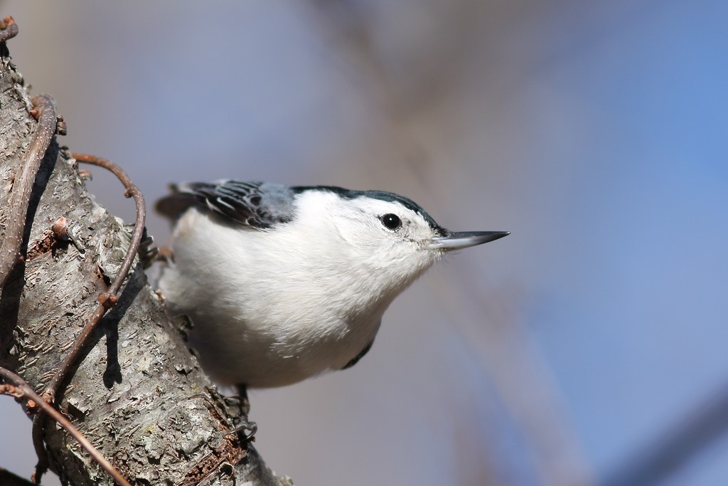 A nuthatch at the Elizabeth A. Morton National Wildlife Refuge.