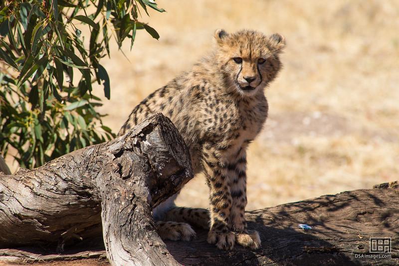 Young Cheetah cub, Kwatile