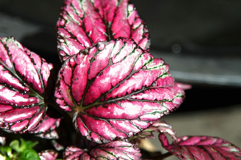 A new diamond dusted pink begonia.  You can see the sparkle in this shot a little bit June 4, 2013