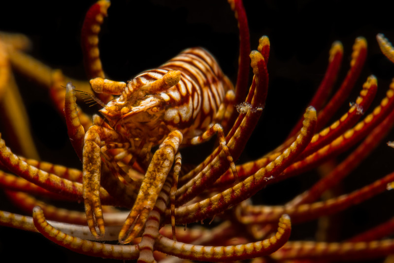 Crinoid Shrimp, grows to 2 cm