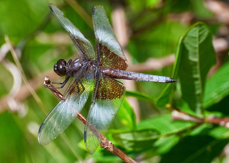 Dragon fly-14.jpg