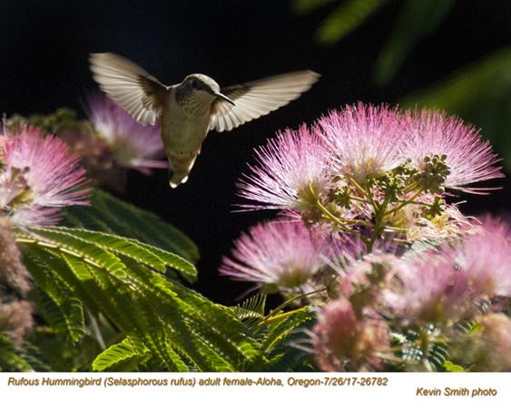 Rufous Hummingbird F26782.jpg