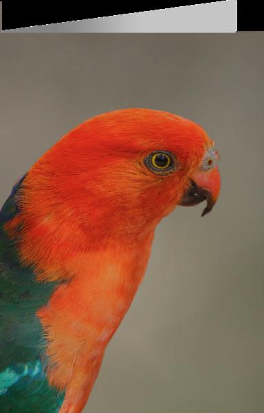 Australian King Parrot.png