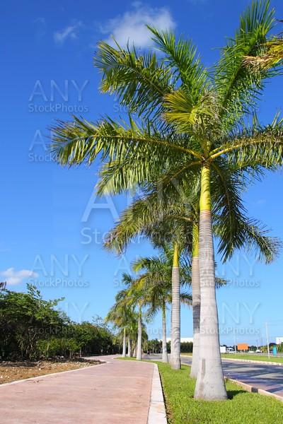 royal palm trees row in tropical garden road