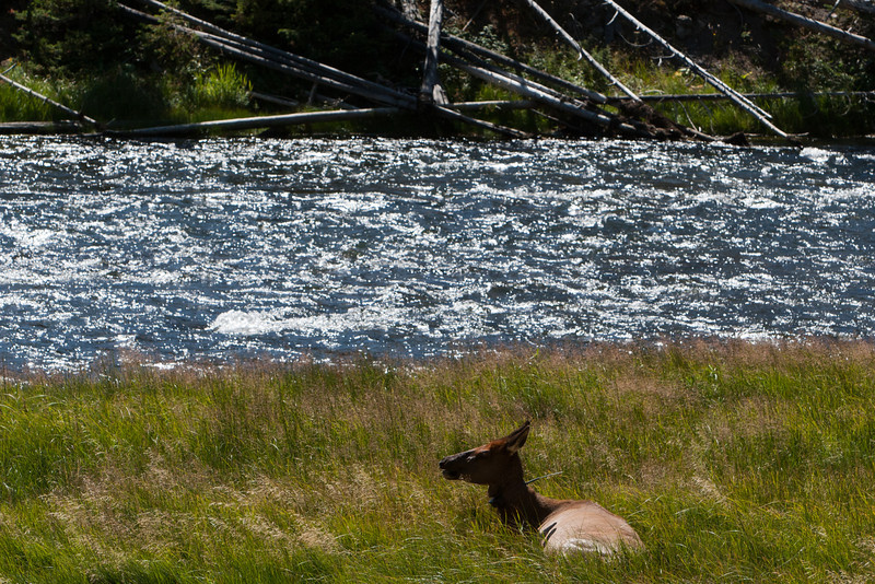 Elk like to take it easy during the day.