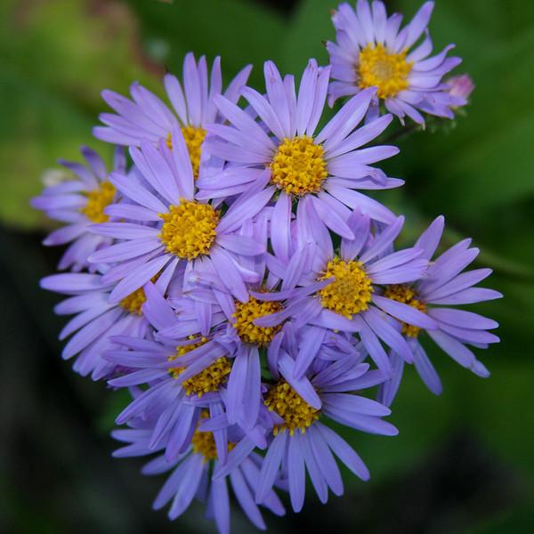 purple asters3816.jpg