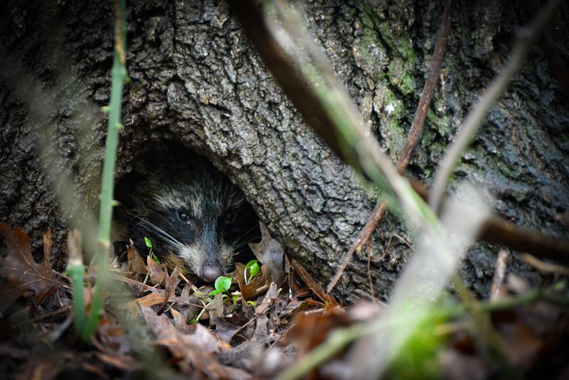 Raccoon_.jpg