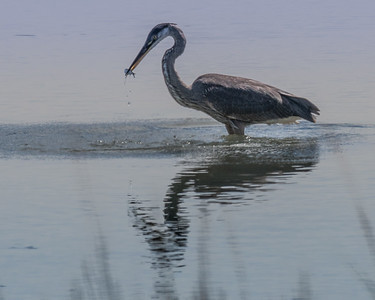 Great Blue Herons at Worlds End