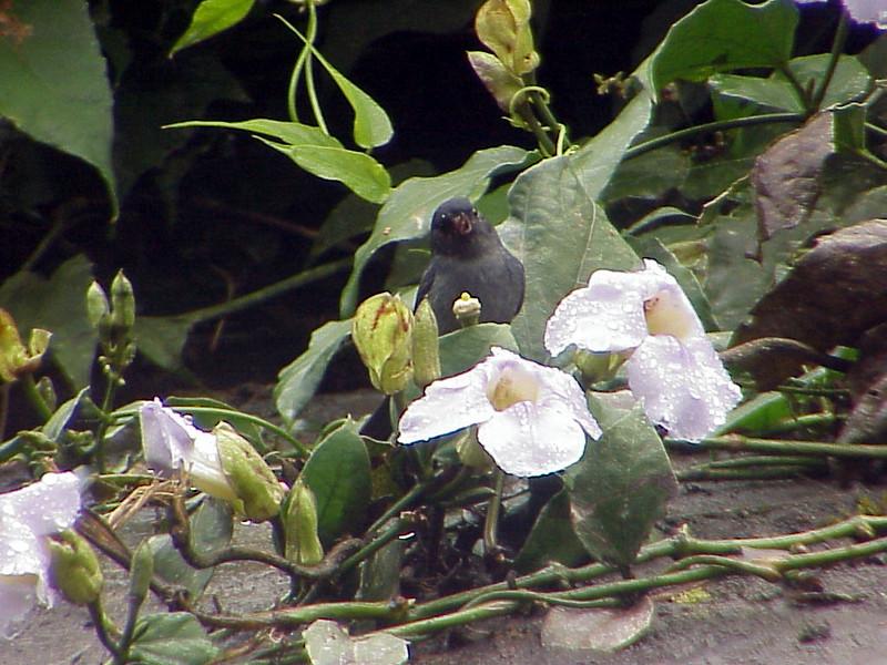 Slaty Flowerpiercer at La Paz Waterfall Gardens Costa Rica 2-10-03 (50898280)